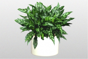 Aglaonema Emerald Beauty