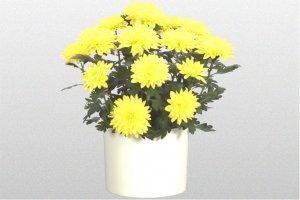 Chrysanthemum Yello