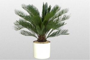 Cycas Sago Palm