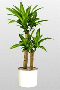Dracaena Massangeana Corn Plant