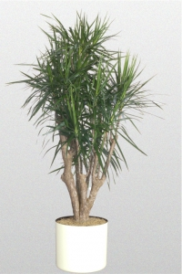 Dracaena marginata Stump