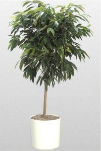 Ficus Amstel King Standard
