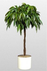 Ficus Amstel King braid