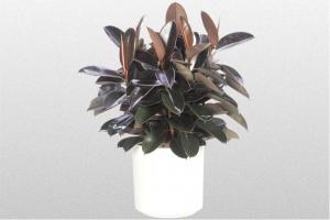 Ficus Burgundy Rubber Plant