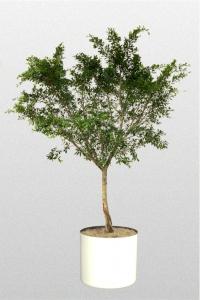 Ficus Nitida Standard
