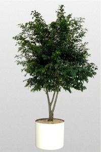 Ficus benjamina Branched