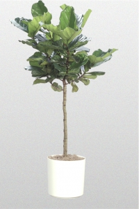 Fiddleleaf Fig Standard
