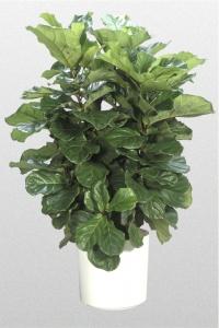 Fiddleleaf Fig bush