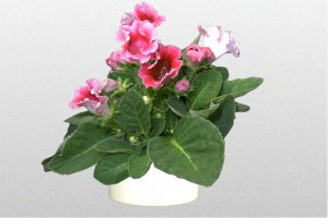 Gloxinia Red