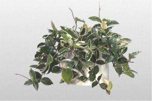 Hoya carnosa