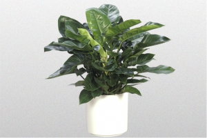 Philodendron Imperian Green