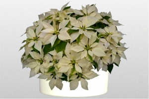 Poinsettia White