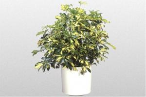 Schefflera arboricola Variegated bush