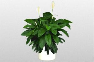 Spathiphyllum Lynise