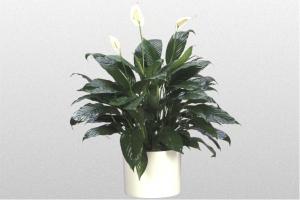 Spathiphyllum Starlight